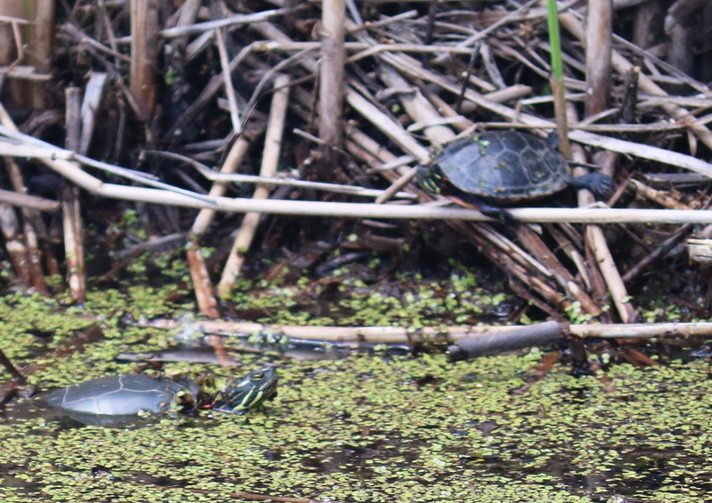 Two Turtles in the Pond