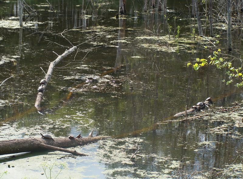 Fallen Tree in a Wetland