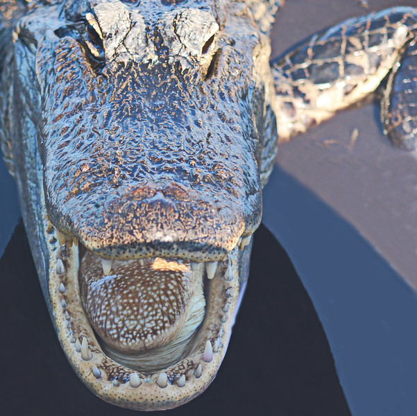 Alligator's Open Mouth
