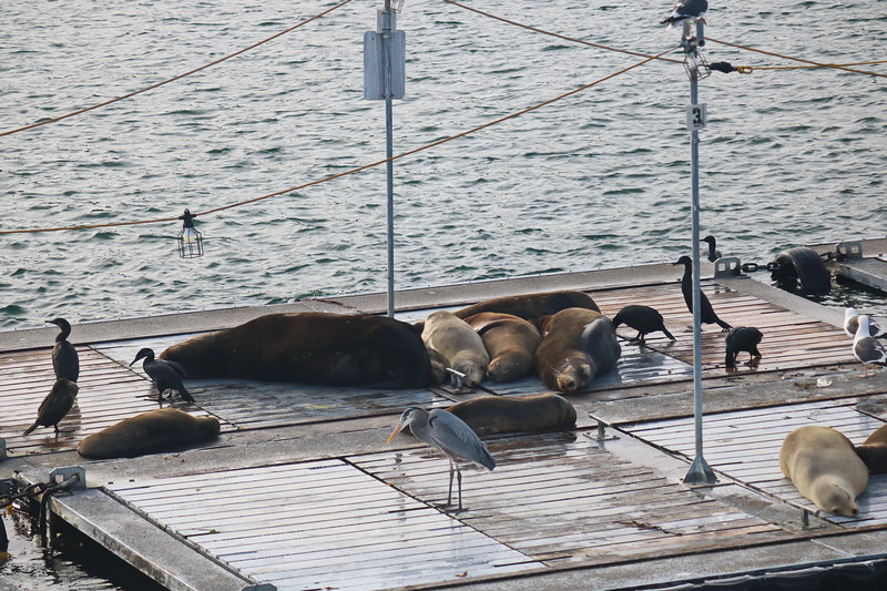 Sea Lions Rest on the Dock