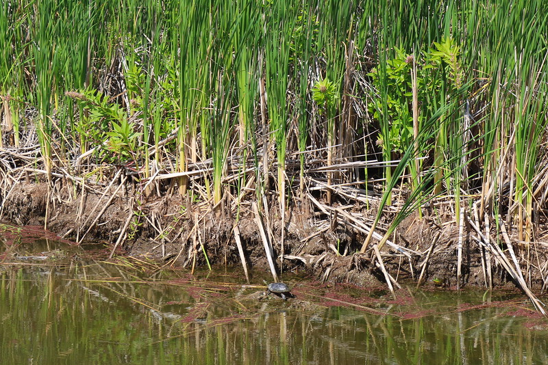 Turtle on the Move in the Wetland
