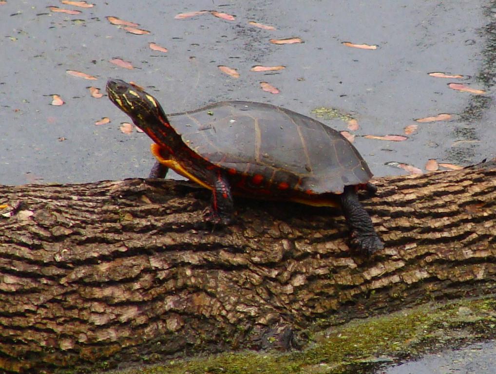 Turtle in Wetlands