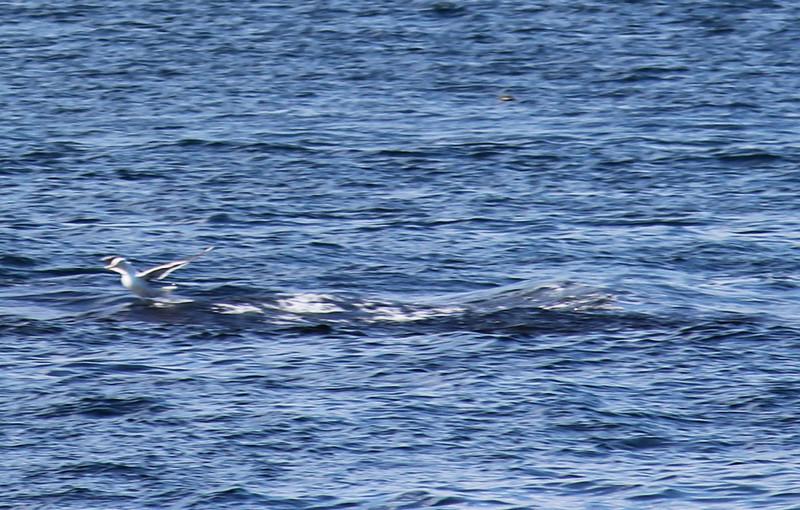 Seagull Rides a Whale