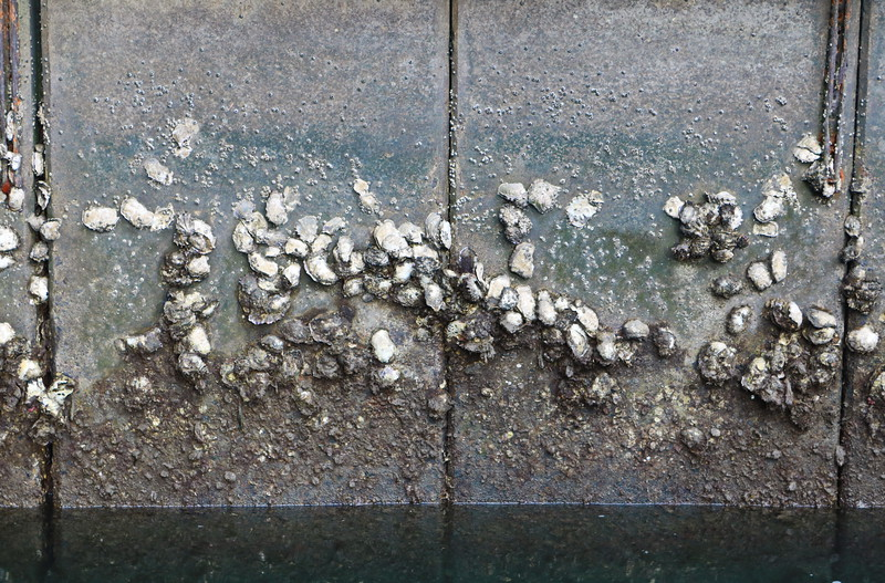 Barnacles on the Sea Wall