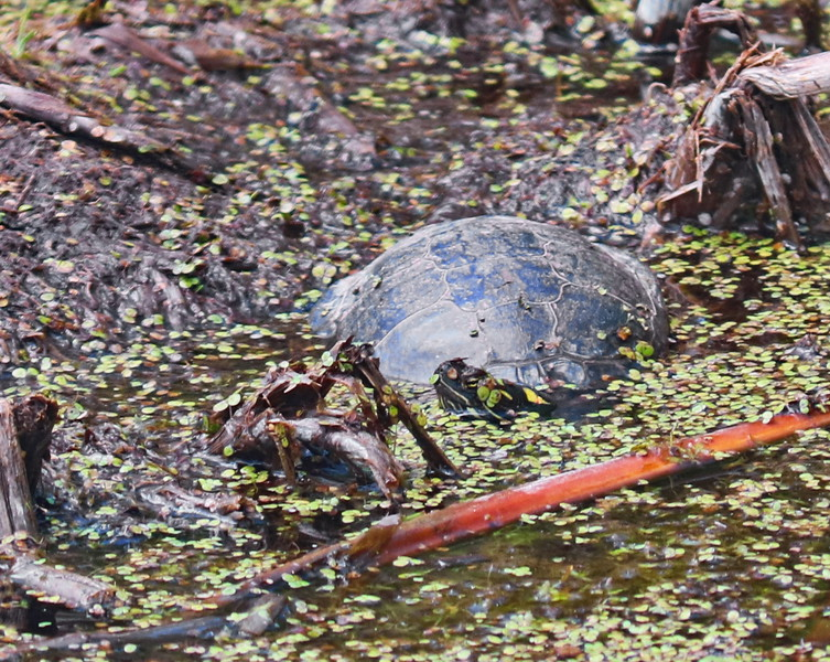 Turtle in the Pond Mud