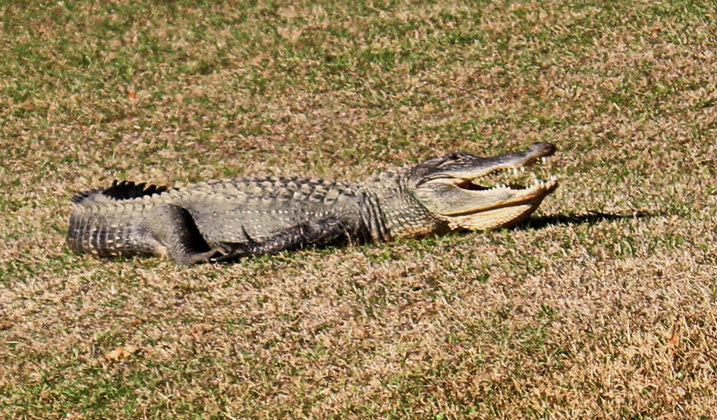 Alligator on the Lawn