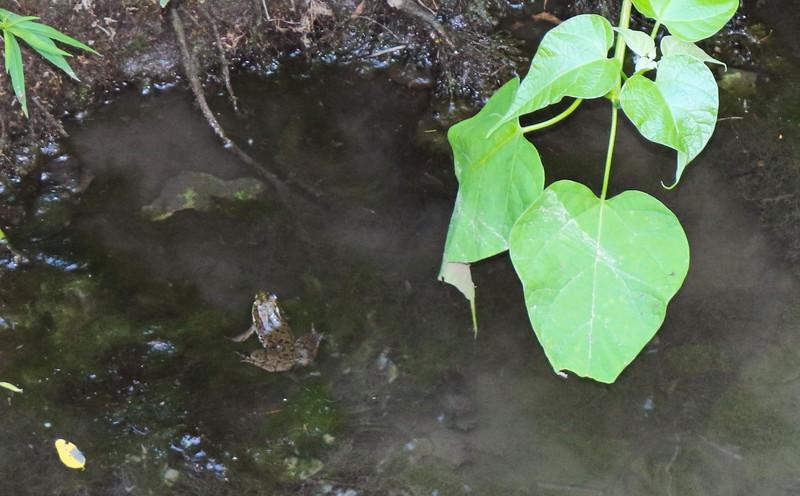 Frog in Buckland Creek