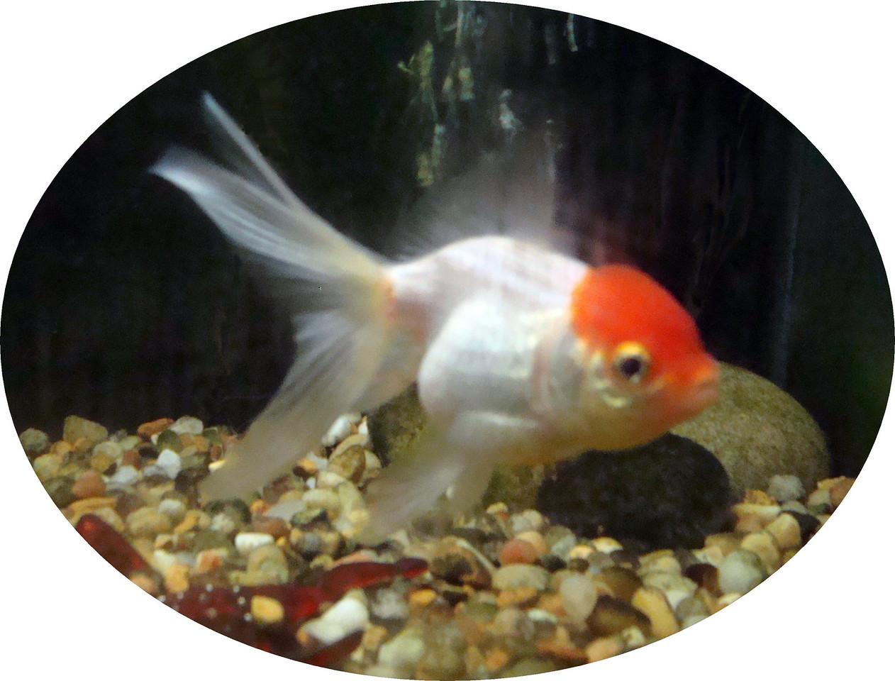 Wen Goldfish