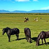 Horses and Cattle Graze