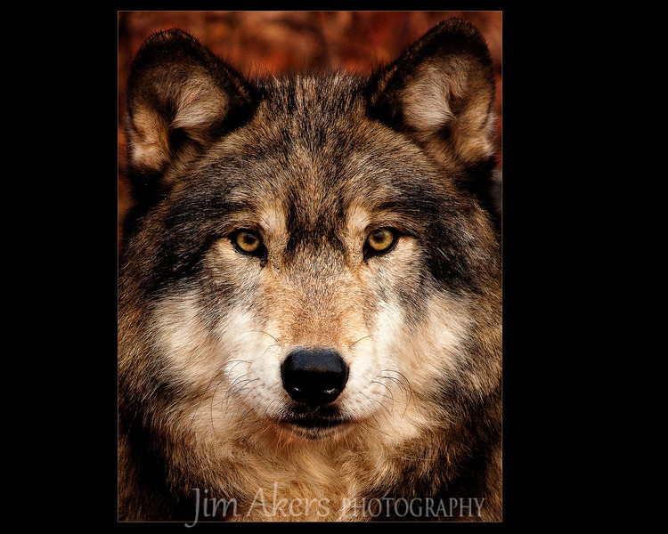 """Pretty Boy"" recently garnerd International, State and Local awards.  Teako is a Timber Wolf.  This is one of my favorite shots.  I would say in the top 10."
