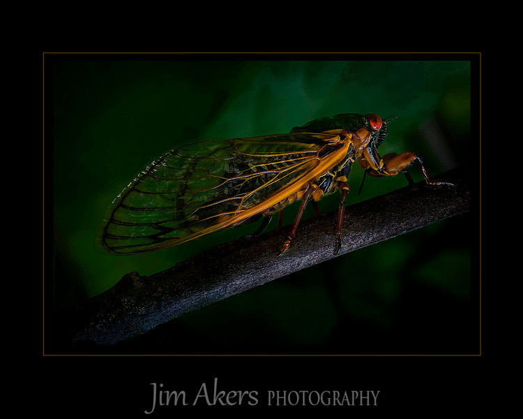 """17 Year Locust"" This insect was photographed in Mendham, NJ.  It recently won Best of Category and First Place for Macro/close up photography at the fall Santa Clarita Valley Photographers Association digital competition. Additionally, this photo took a Best of Class and a merit of 82 in the Professional Photographers of Los Angeles County digital completion. This photo also received finalist distinction from the Greater Denver Audubon Society ""Share the View"" International photo contest."
