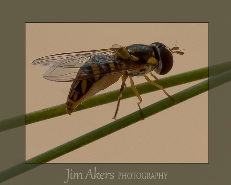 "It looks like a yellow jacket but it isn't.  Sometimes you see it stationary in the air near a plant or flower during the summer, hence the generic name ""Hover Fly"". It does not sting.  This insect looks big in the photo but it is small, like a fly."