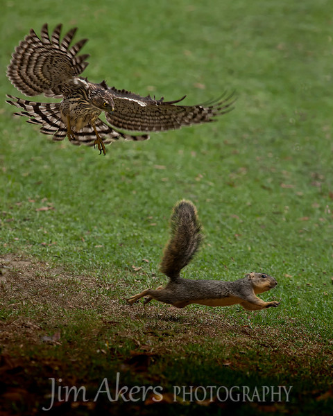 I watch this young Coopers hawk and squirrel play cat and mouse for a good 30 minutes or more.  The squirrel seemed to know just how far he could wander into the open before the hawk would swoop down and try to pounce on him.  I used a 70-200 2.8 IS canon lens with a 1.4 extender.