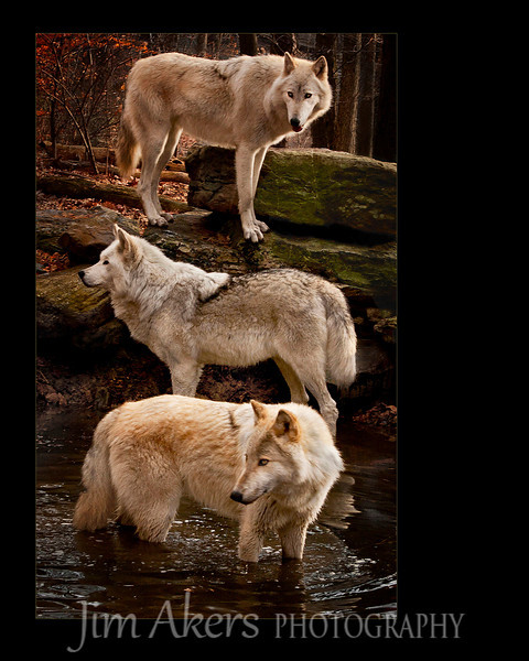 """Triple Threat"" Took 1st place and Judges Choice at the Spring Santa Clarita Valley Photographers Association Open Competition. This photo will be on displayed for several months at the Santa Clarita City Hall.  Wolves love water.  Taken on the New Jersey side of the Delaware River in Warren County near the town of Columbia. The early foggy morning air was crisp and very cool."