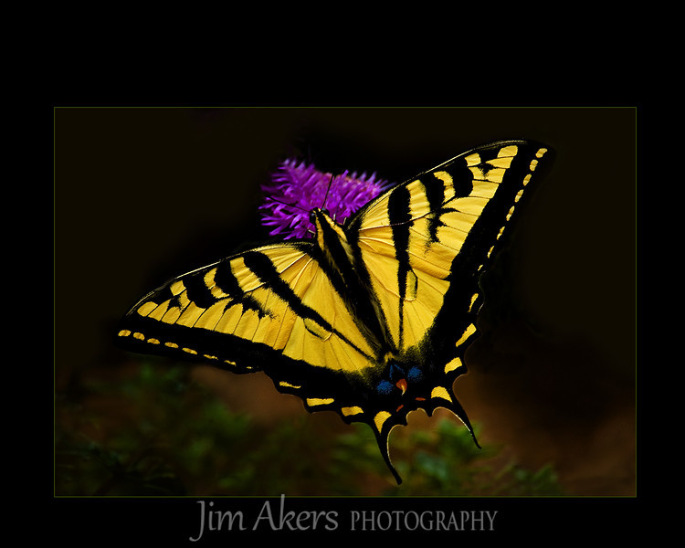 Swallowtail Butterfly.  The condition of this butterfly was perfect.  I suspect that it was less than a day old.