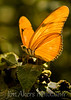 Yellow butterfly Common in deserts, fields and open areas. This butterfly is either a Cloudless Sulphur or Large Orange Sulphur