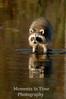Raccoon reflection v