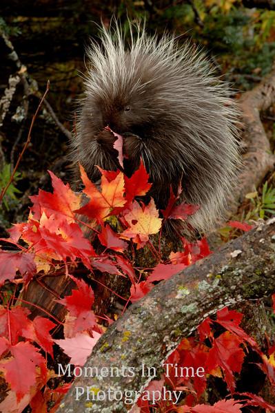 Porcupine (Hystrix cristata )