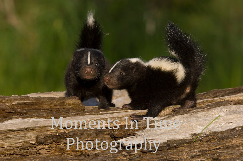 Two young skunks on log
