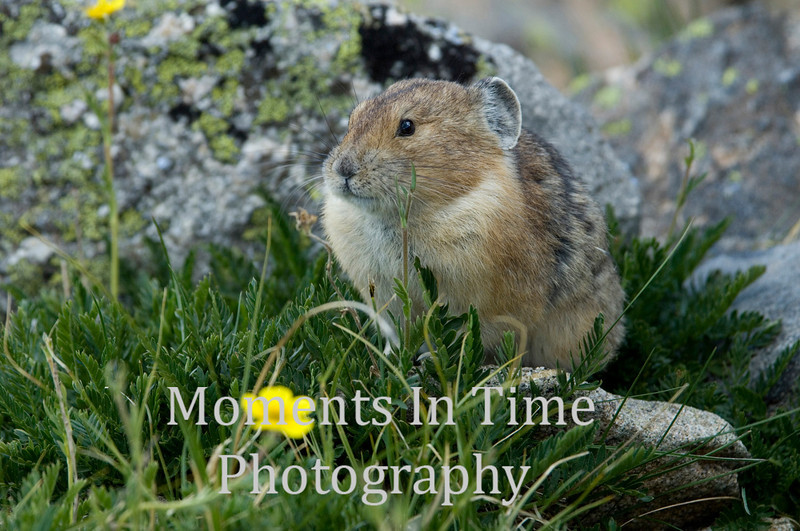 Pika in grass