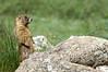 Marmot upright