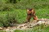 Marmot yellow bellied (Marmota flaviventris)