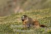 Marmot grazing