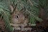 Squirrel golden mantled (Callospermophilus lateralis)
