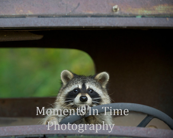 Raccoon driver