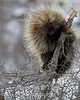 porcupine on fence post in winter