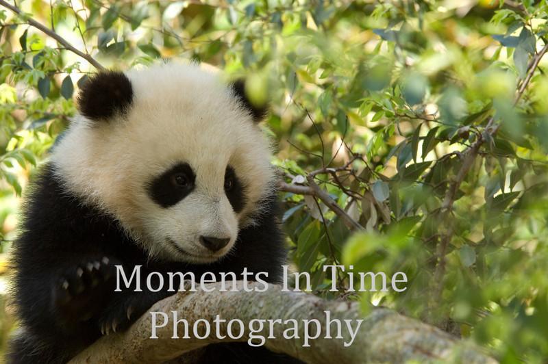 Panda Giant (Ailuropoda melanoleuca)