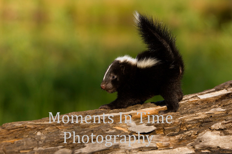Young skunk on log