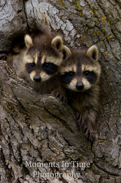Young raccoon pair in tree V