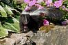 Young skunk in garden