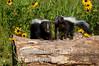 Skunk pair on log