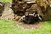 Skunk striped (Mephitis mephitis)