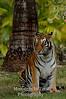 Tiger Bengal (Panthera tigris)