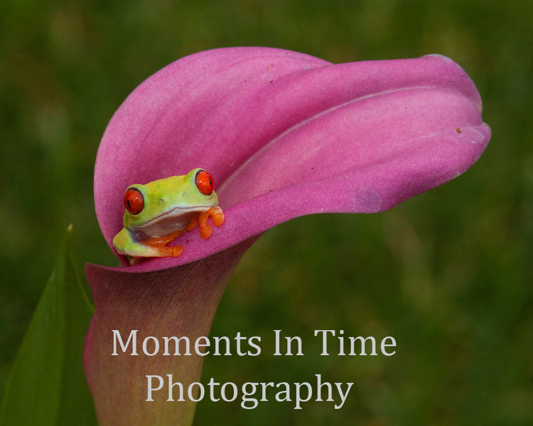 Tree frog in cala lily