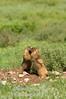 Marmot pair playing