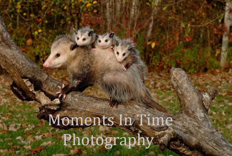Opposum family