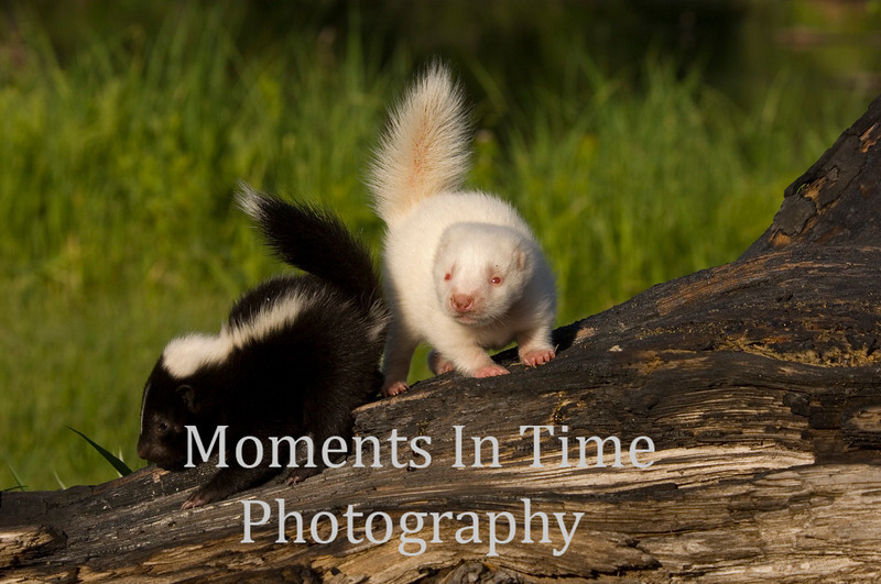 Young skunk with albino