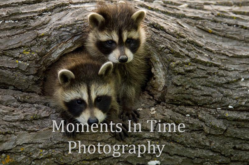 Raccoon pair in hole 2