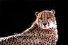 Cheetah, ( Acinonyx jubatus)