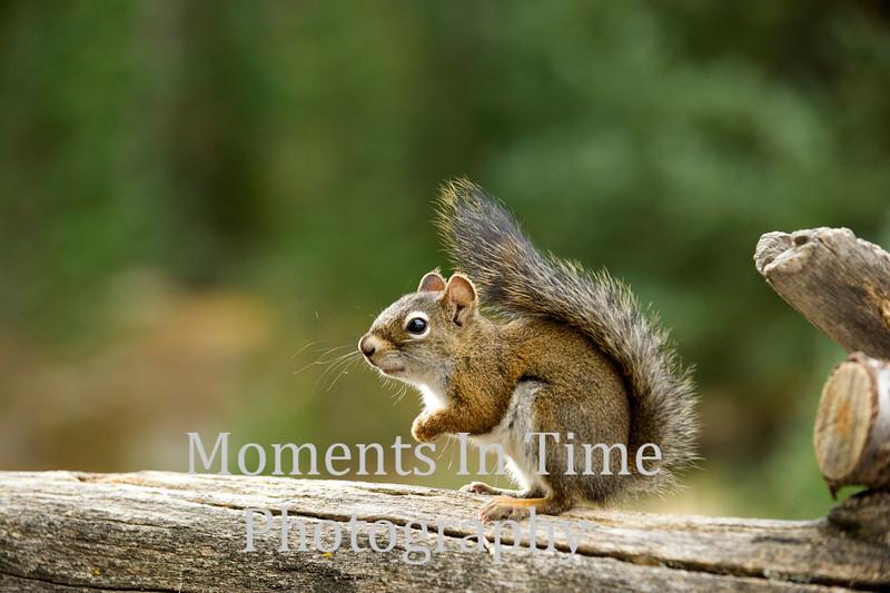 Squirrel pine (Tamiasciurus douglasii)