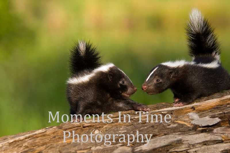 Young skunks nose to nose