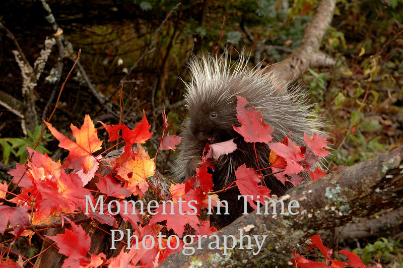 Porcupine eating leaves