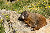 Marmot on alert sitting on rock