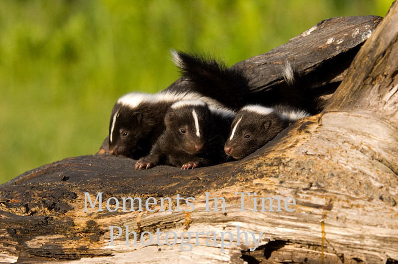 Three young skunks