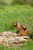 Marmot watching