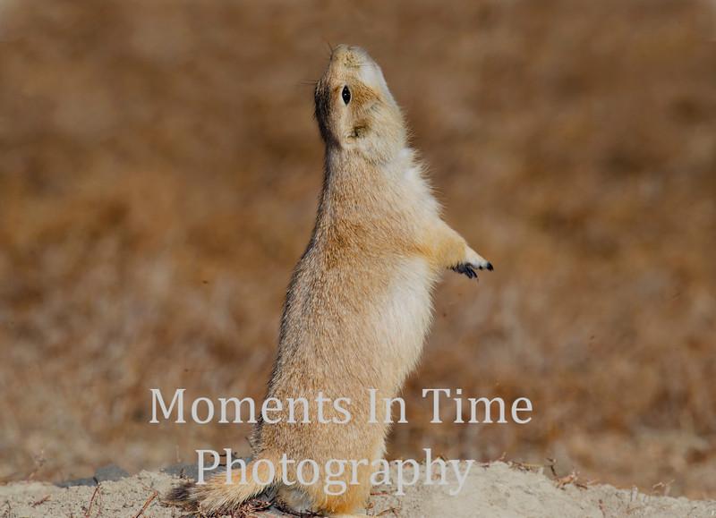 prairie dog black tailed, (Cynomys ludovicianus)